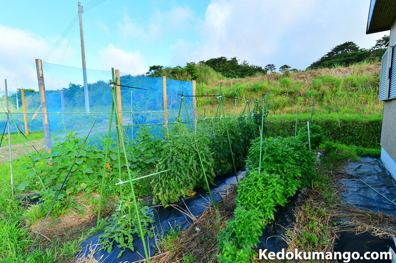 5月下旬の家庭菜園の「トマト」の様子