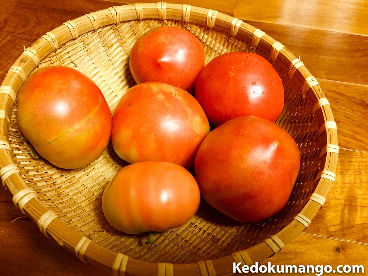 家庭菜園で収穫した「トマト」