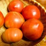 家庭菜園の「トマト」の収穫が始まりました!