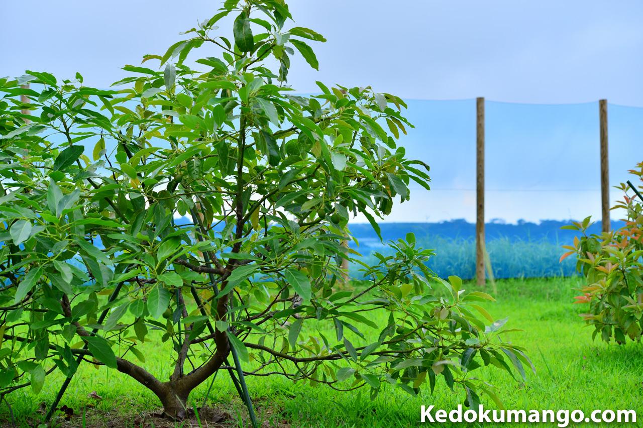 徳之島で栽培するアボカドの「ハス」