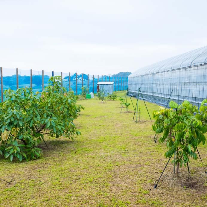 マンゴー栽培においての「スリップス対策」として新たな計画のスタートです! | 花徳マンゴー