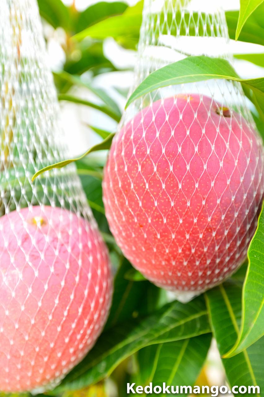 収穫ネットに「ポトリ」と落ちたマンゴー