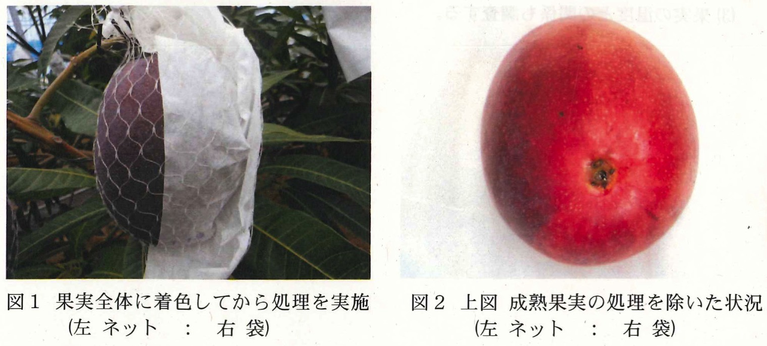 マンゴーの収穫ネットと収穫紙袋の比較図-1