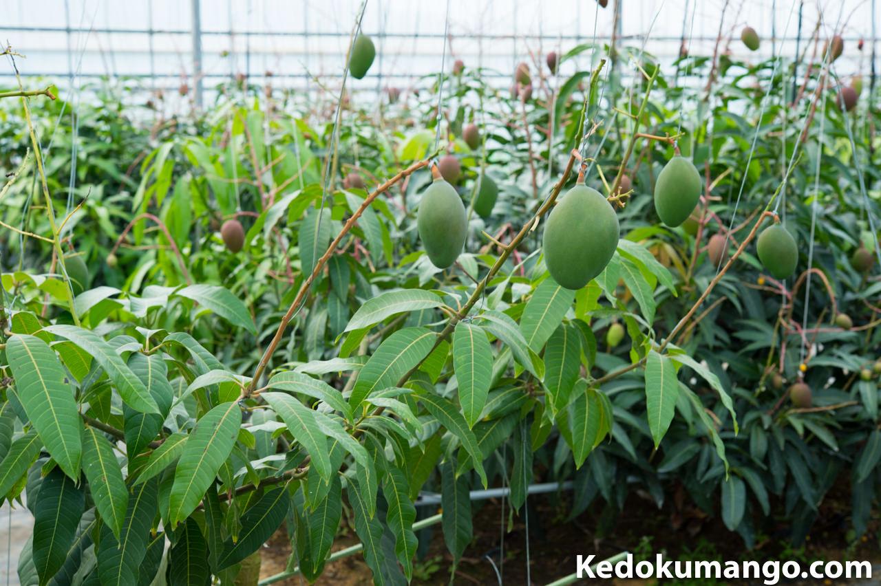 キーツマンゴーの果実肥大の様子