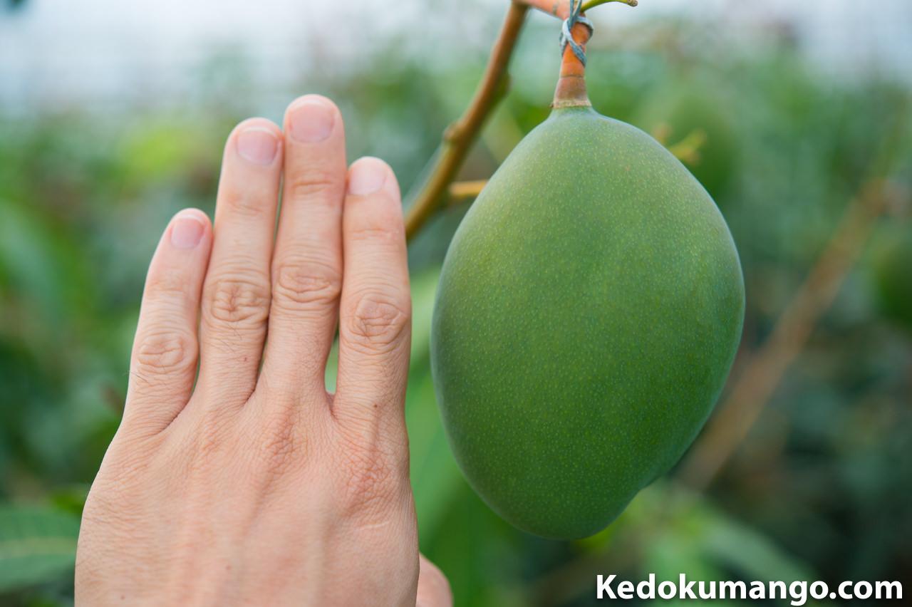 キーツマンゴーの肥大を手で比べて見た様子