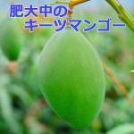 マンゴーの品種「キーツマンゴー」が素晴らしい果実の肥大を見せています!