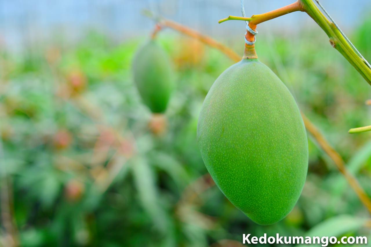 キーツマンゴーの幼果の接写