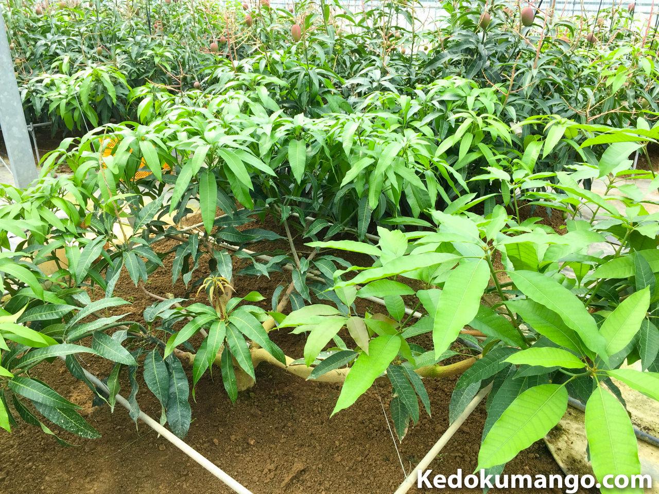 マンゴーの剪定のコツを紹介するための樹