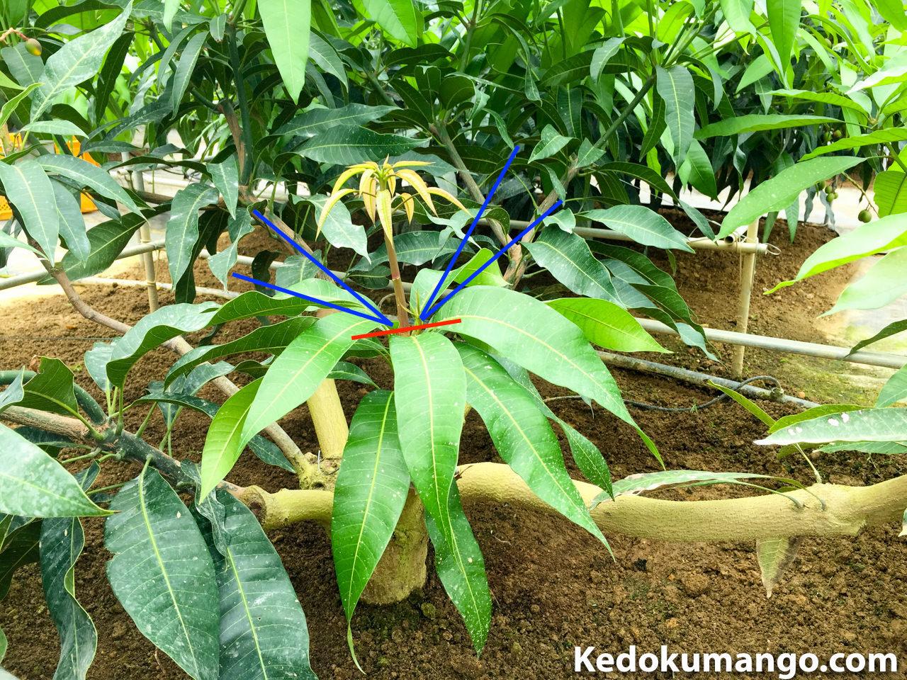 マンゴーの樹の剪定箇所を記した写真