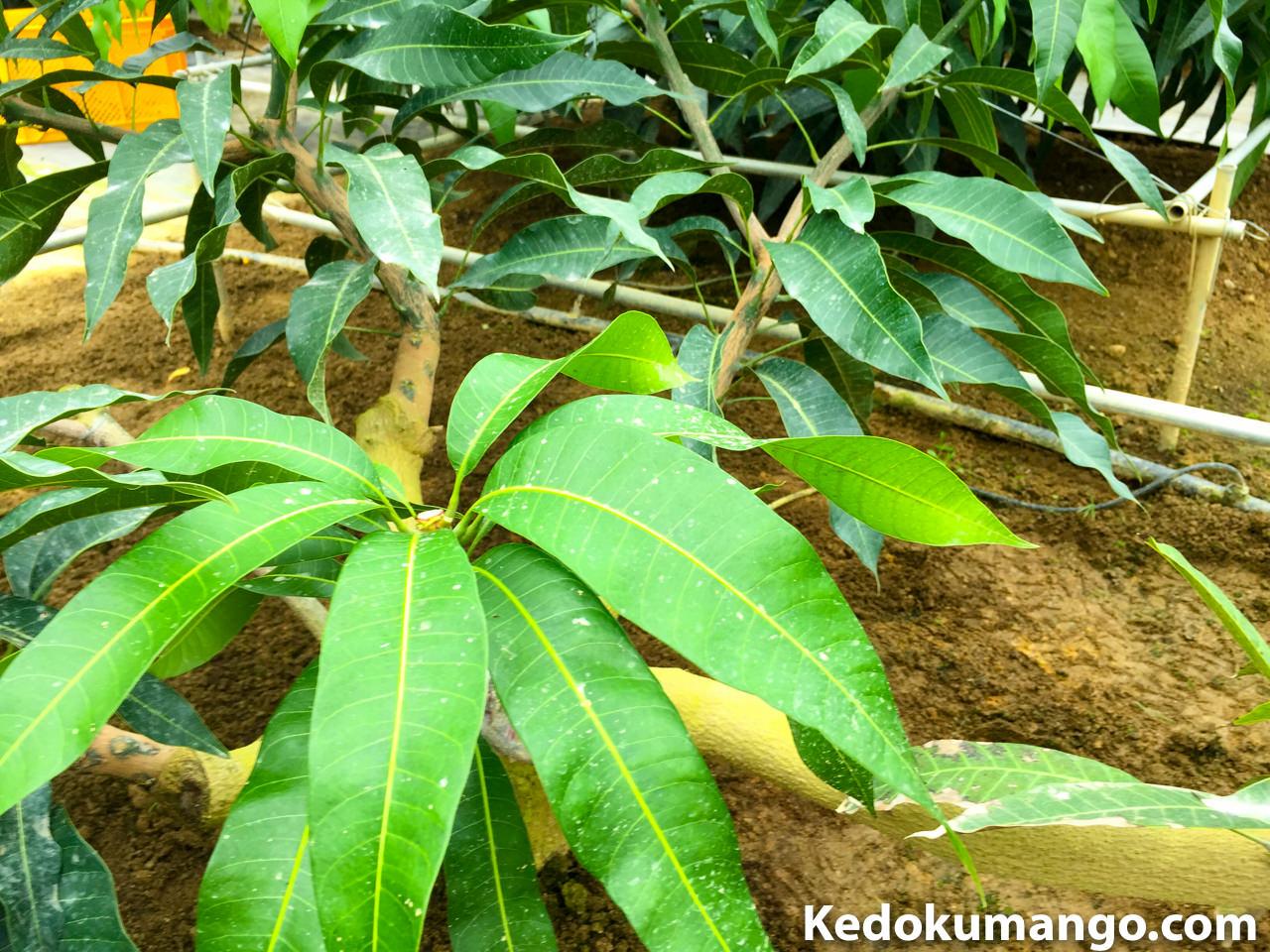 マンゴーの樹の剪定直後の写真