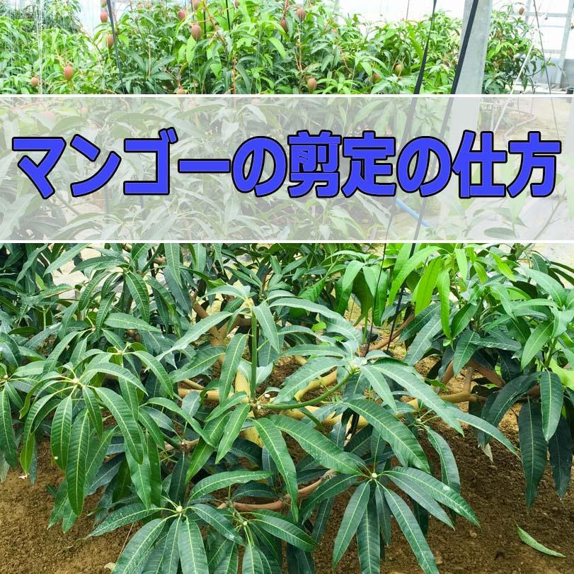 マンゴーの剪定のコツをご紹介! | 花徳マンゴー