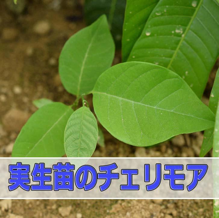 世界三大美果の「チェリモヤ」が生えてきた!? | 花徳マンゴー