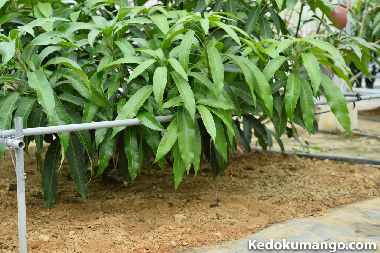 通常のマンゴーの樹の下の部分