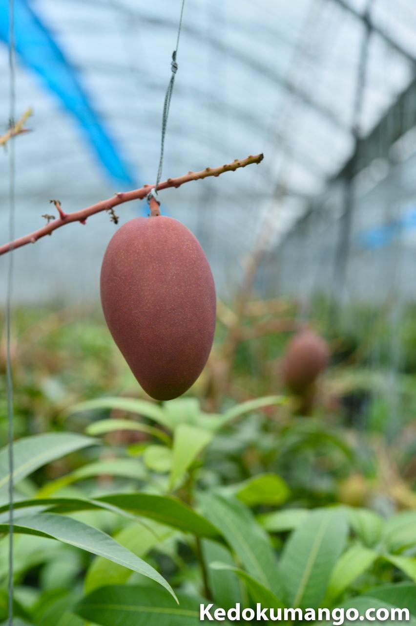 アーウィン(アップル)マンゴーの果実肥大の様子-