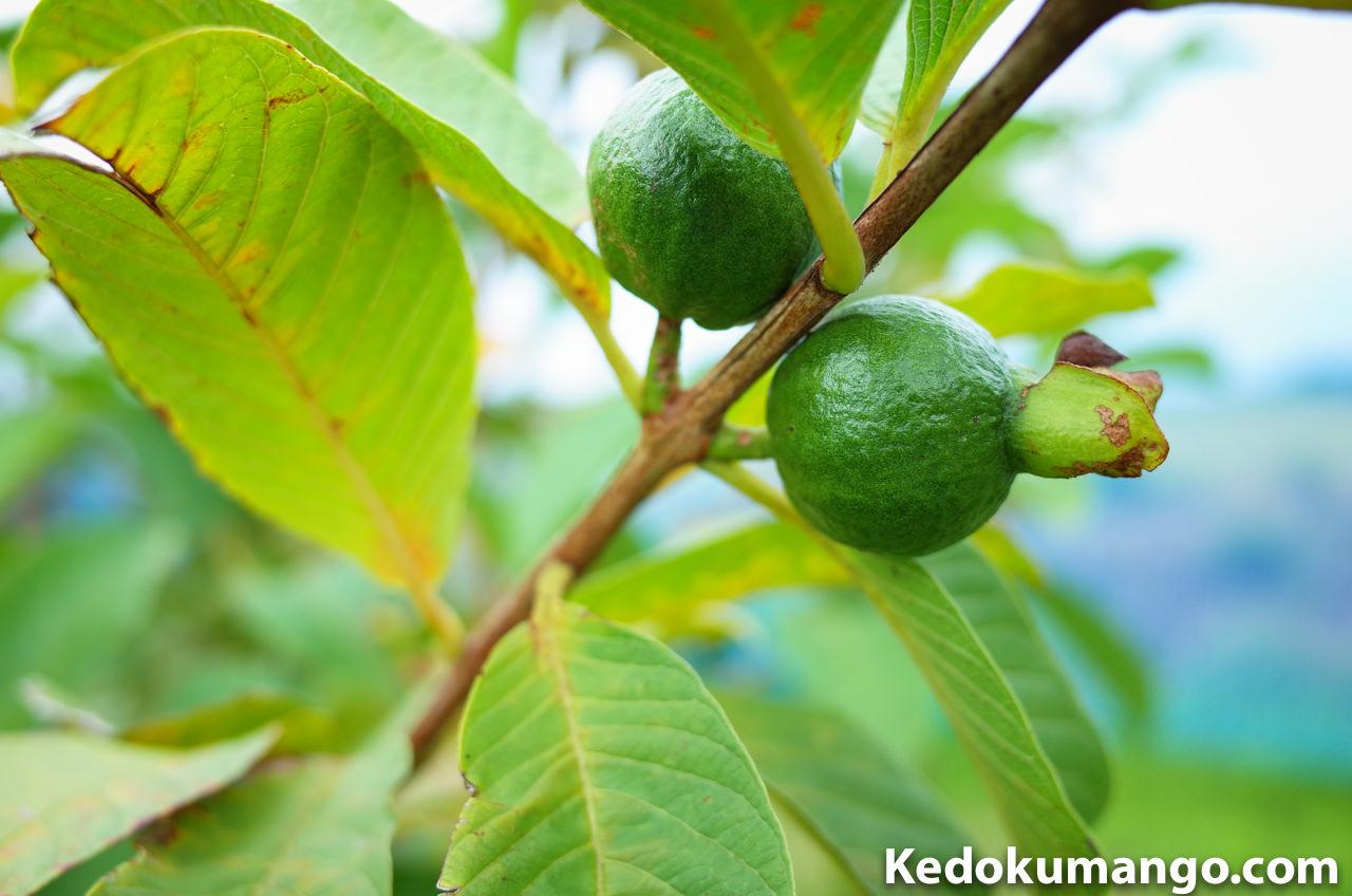 キンググアバの果実の写真-1