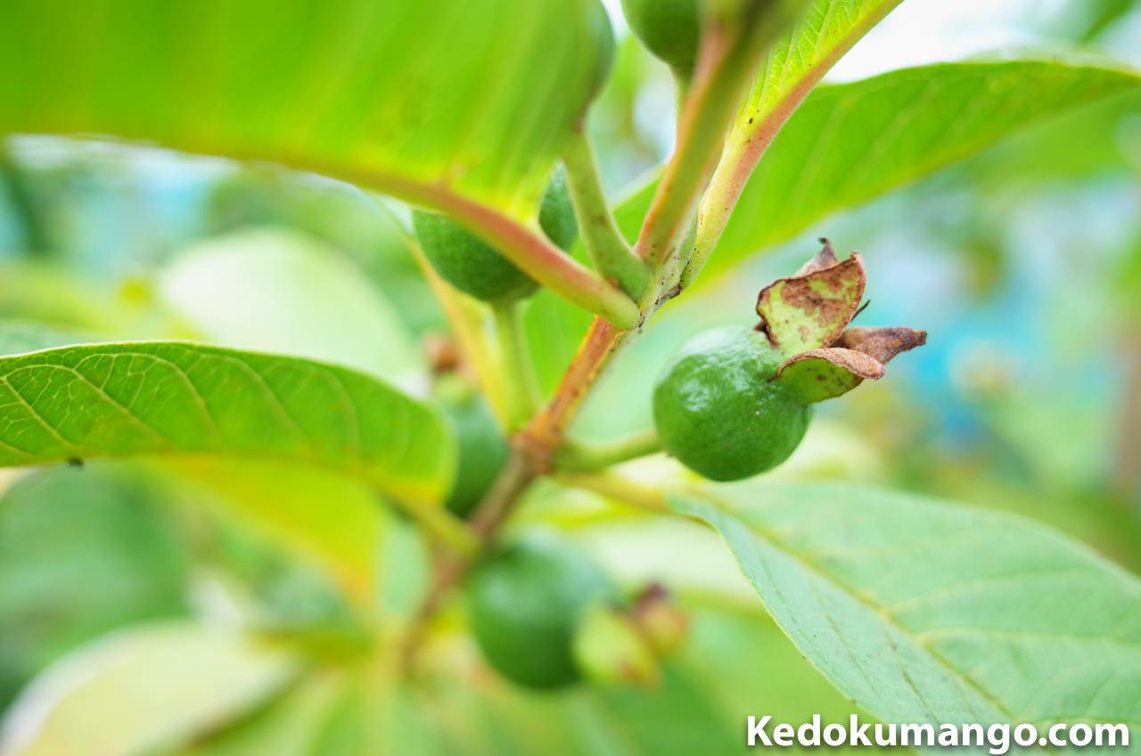 キンググアバの果実の写真-2