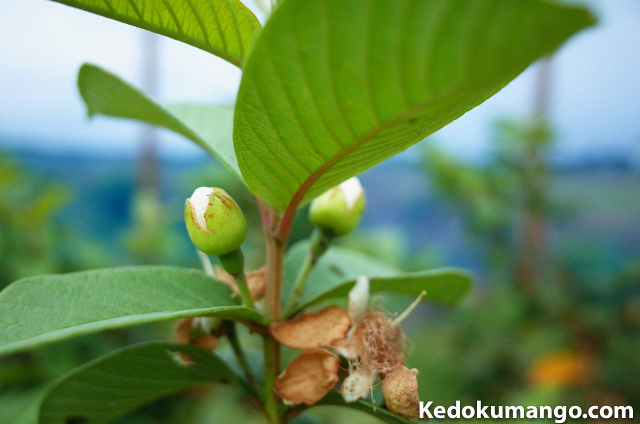 島ばんしろうの果実の写真-1