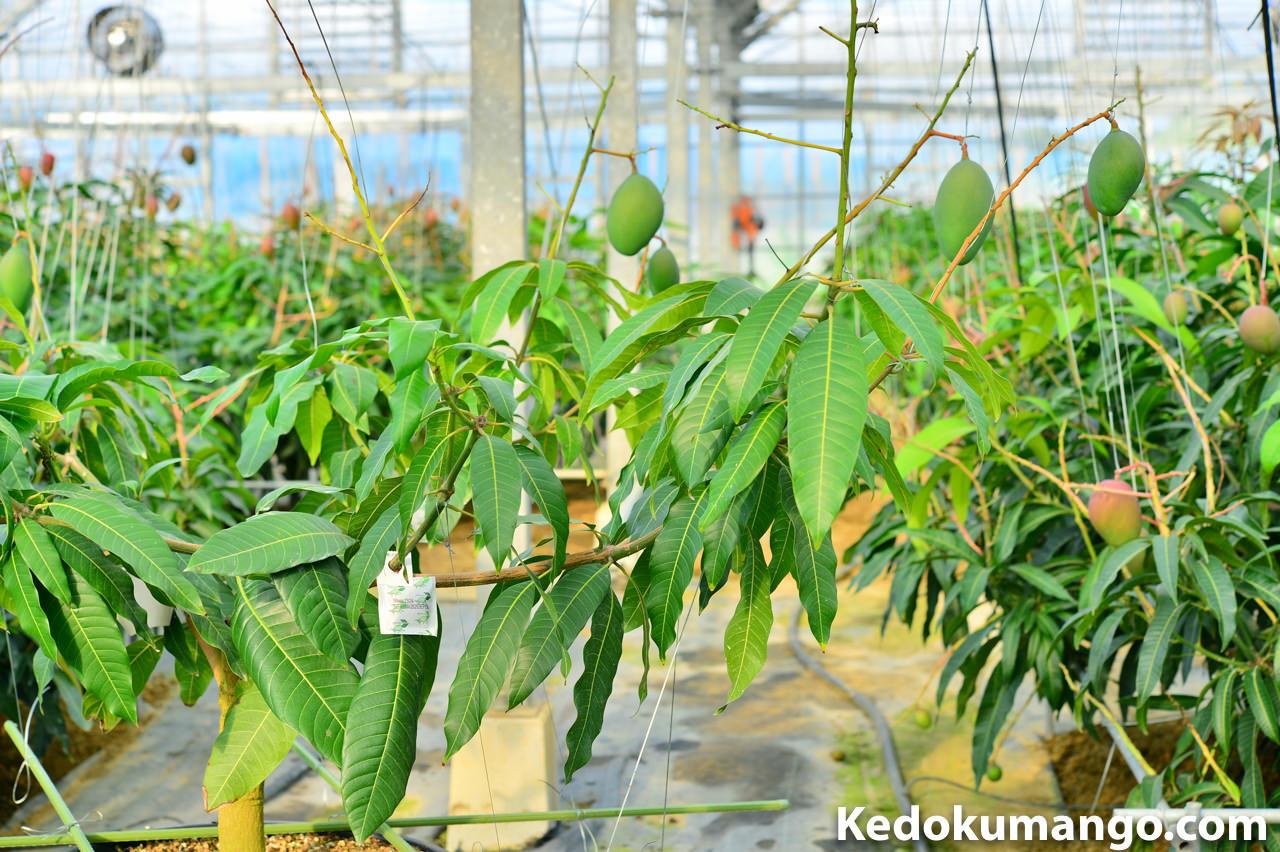 ポット栽培のキーツマンゴーにもスワルスキープラスを設置した様子