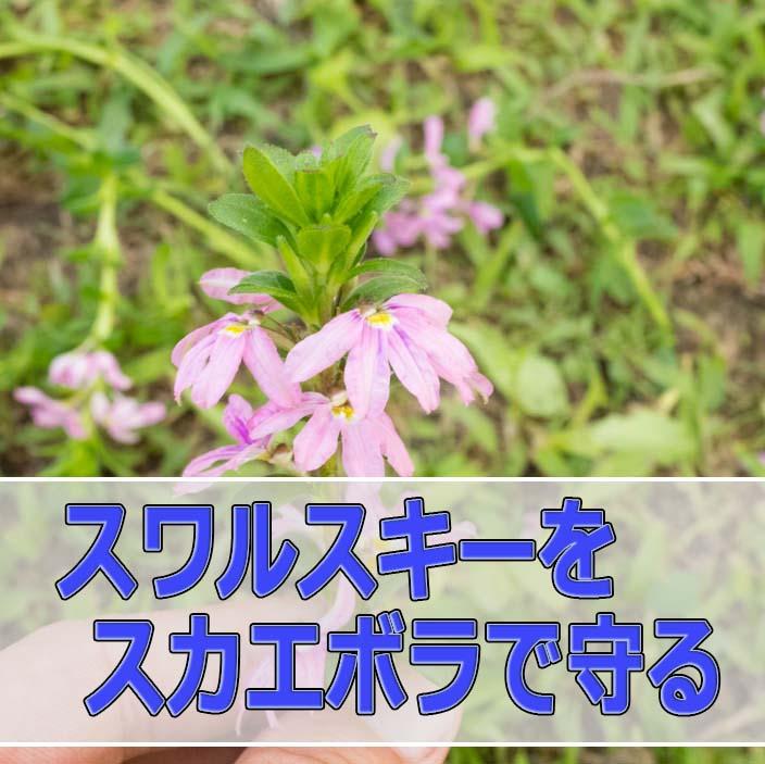 スワルスキーの投入の翌日に「スカエボラ」を挿し木しました! | 花徳マンゴー