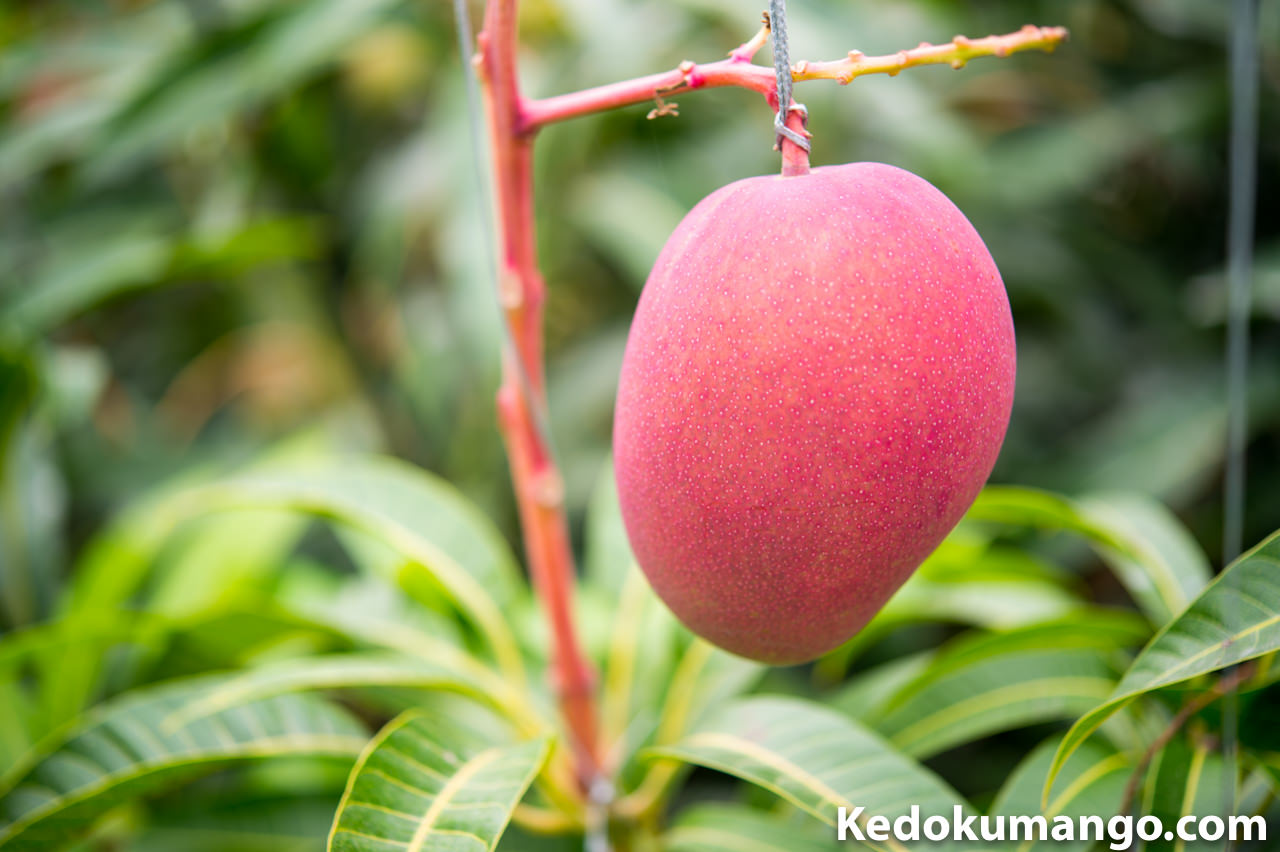 マンゴーの果実肥大の様子-1