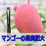 6月のマンゴーは順調に成長していますよ!