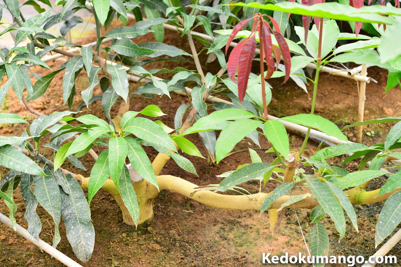 マンゴーの節から新芽が吹き出している様子