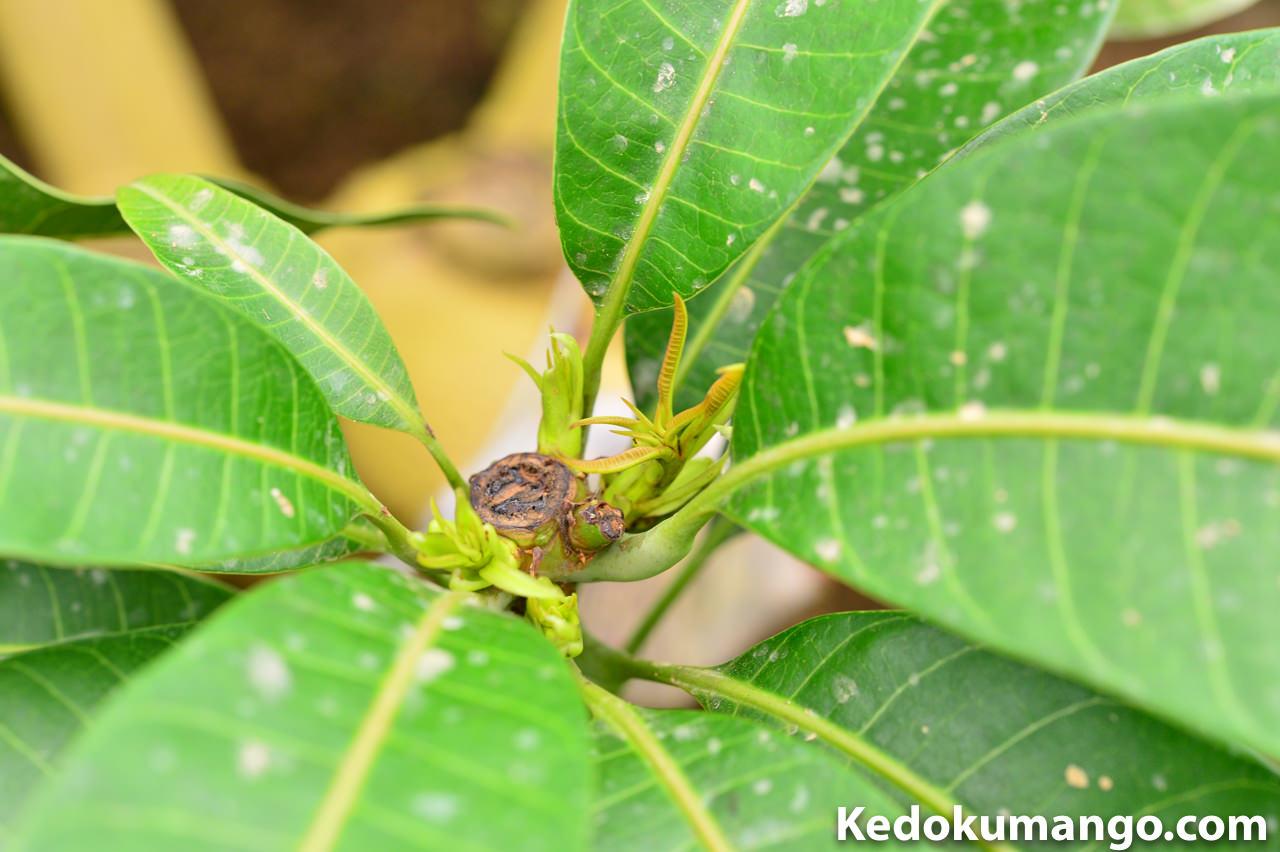 マンゴーの節から新芽が吹き出した様子_接写