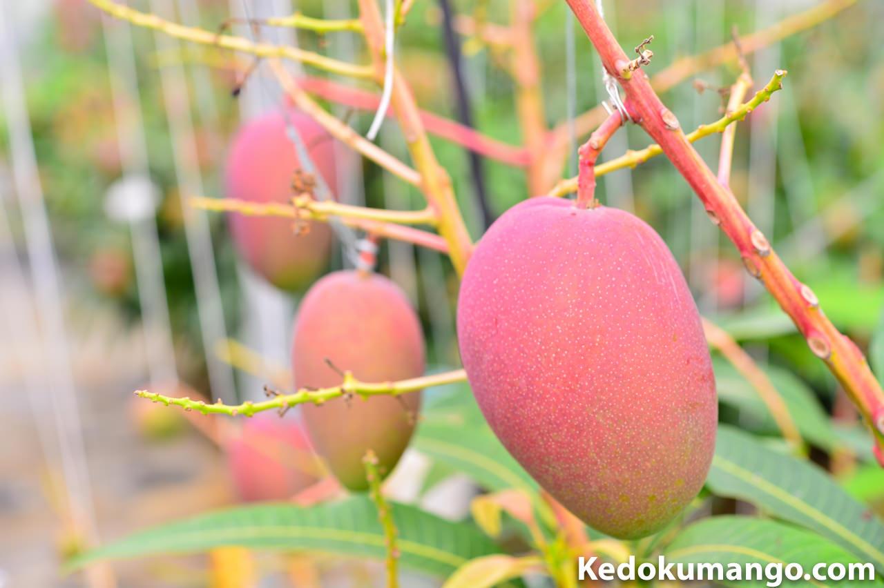 マンゴーの果実肥大の様子-2