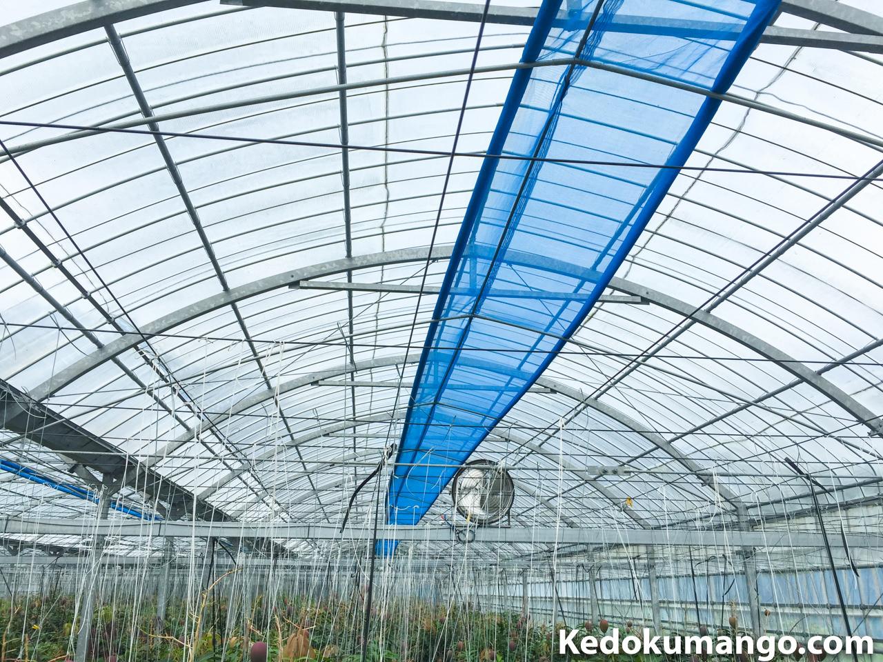 マンゴー栽培のビニールハウスで遮光ネットを巻き上げている状態