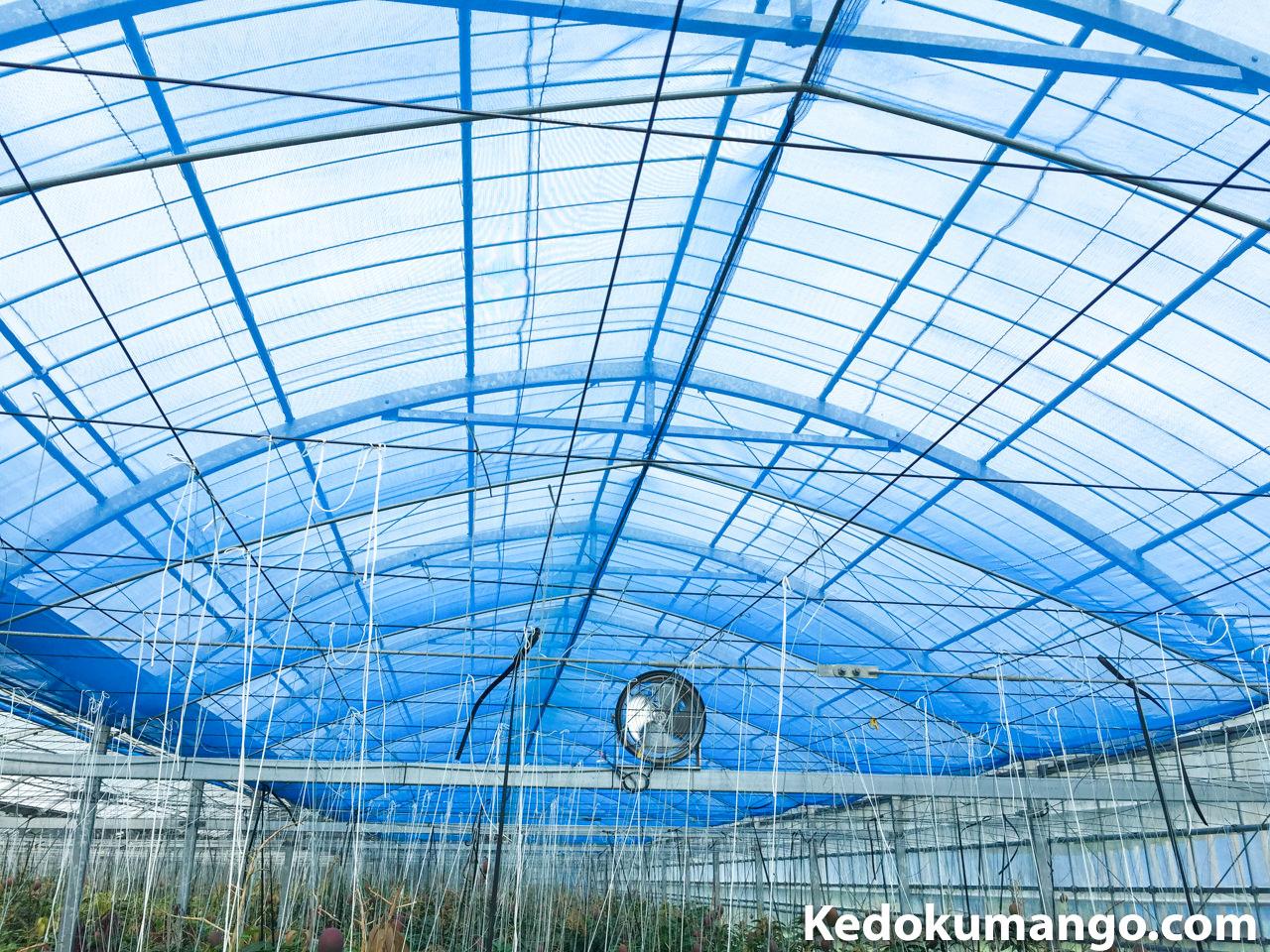 マンゴー栽培のビニールハウスで遮光ネットをおろした状態