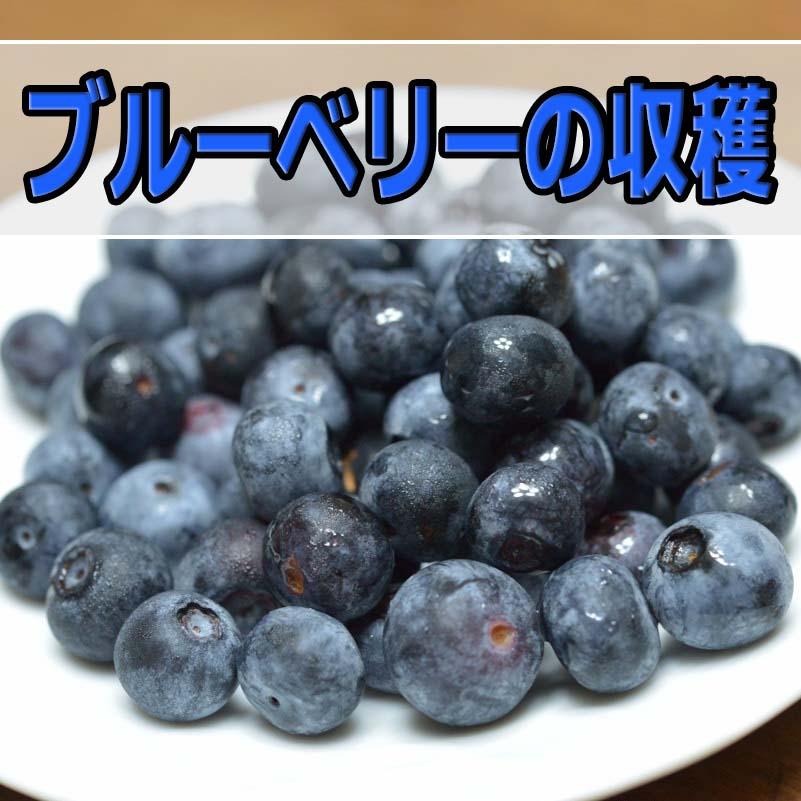 ブルーベリーが収穫期を迎えました! | 花徳マンゴー