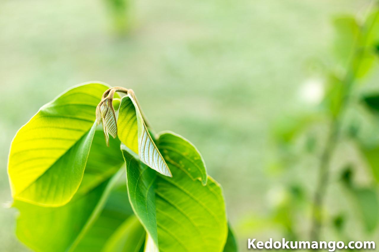 徳之島で栽培する「チェリモヤ」の新葉_1