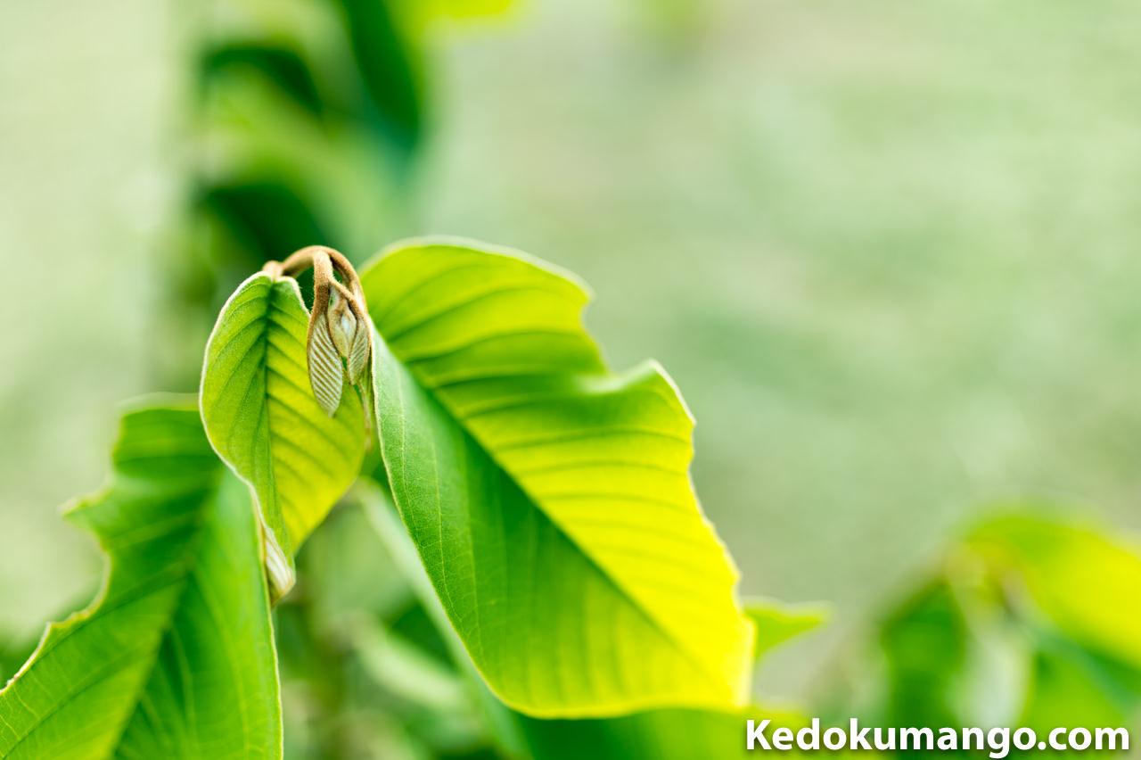 徳之島で栽培する「チェリモヤ」の新葉_2