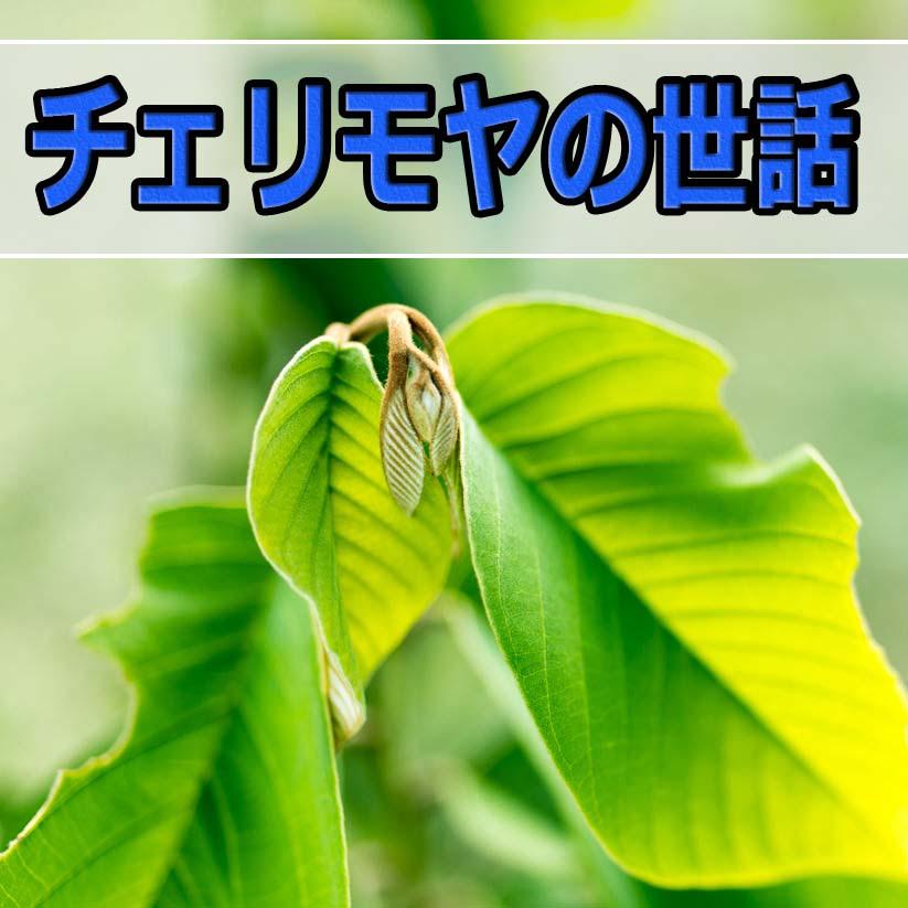 チェリモヤの世話をしながら思い出した「嫌な思い出」 | 花徳マンゴー