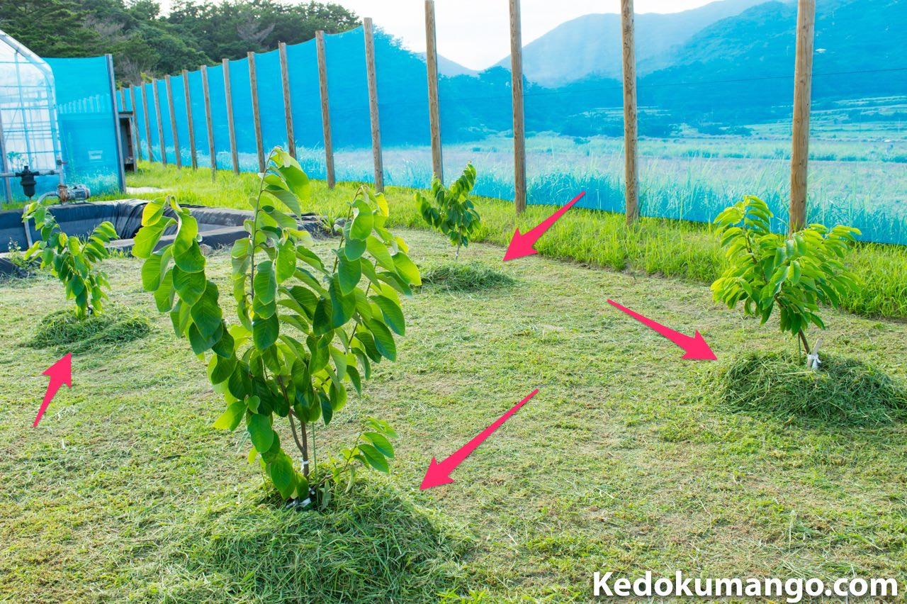 チェリモヤの株元に雑草を集積し防草対策を施したところ