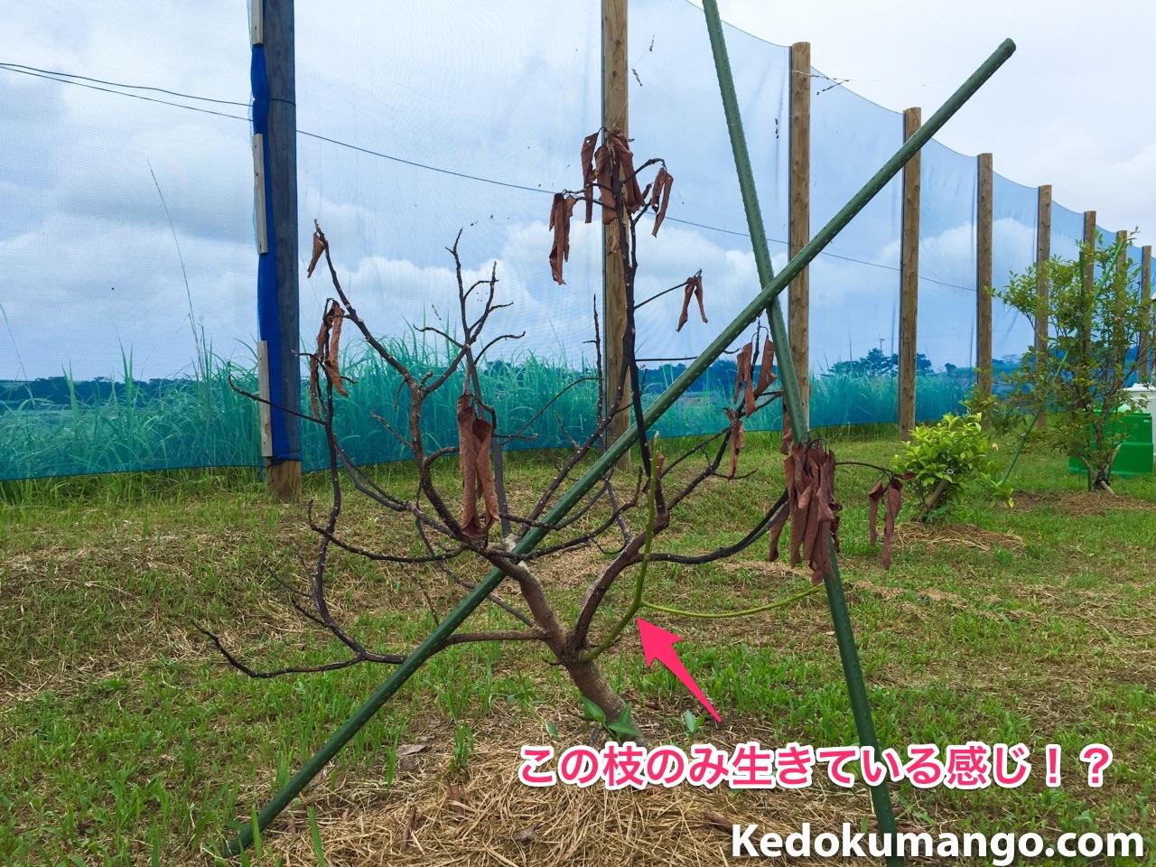 枯れ始めているアボカドの品種「ベーコン」