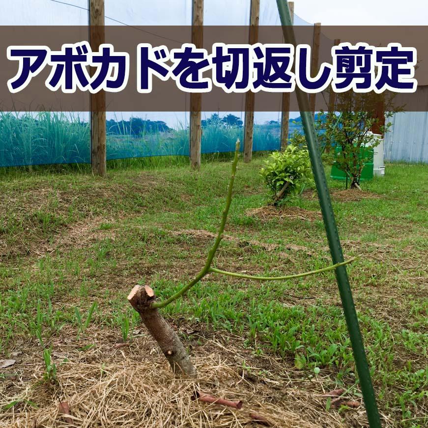 【アボカド】が原因不明の立ち枯れのため切返し剪定を施しました! | 花徳マンゴー