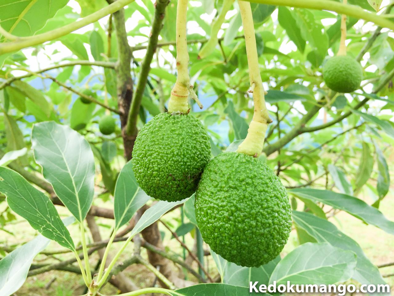 アボカドの果実「ハス」