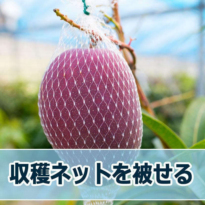 マンゴーの【収穫ネット掛け】が始まりました! | 花徳マンゴー