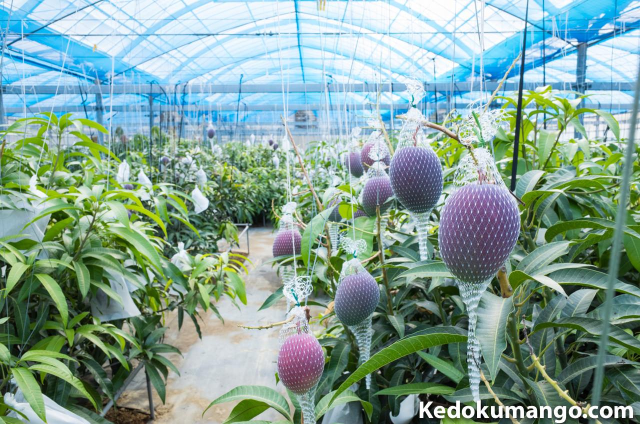 マンゴーの収穫ネットと収穫袋が混在しているところ
