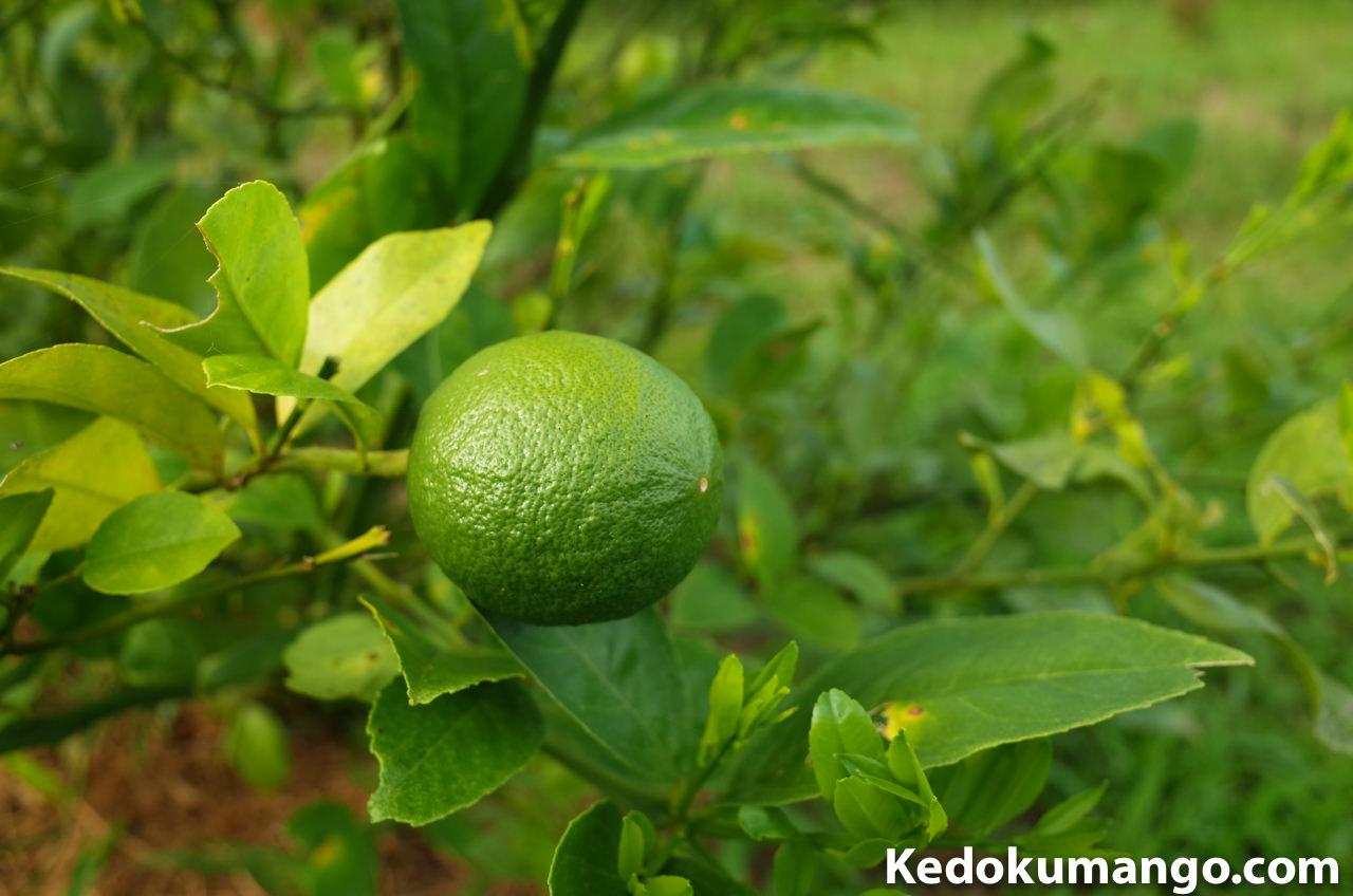農園のレモンの果実の様子