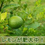 2016年7月の【レモンの成長】の様子