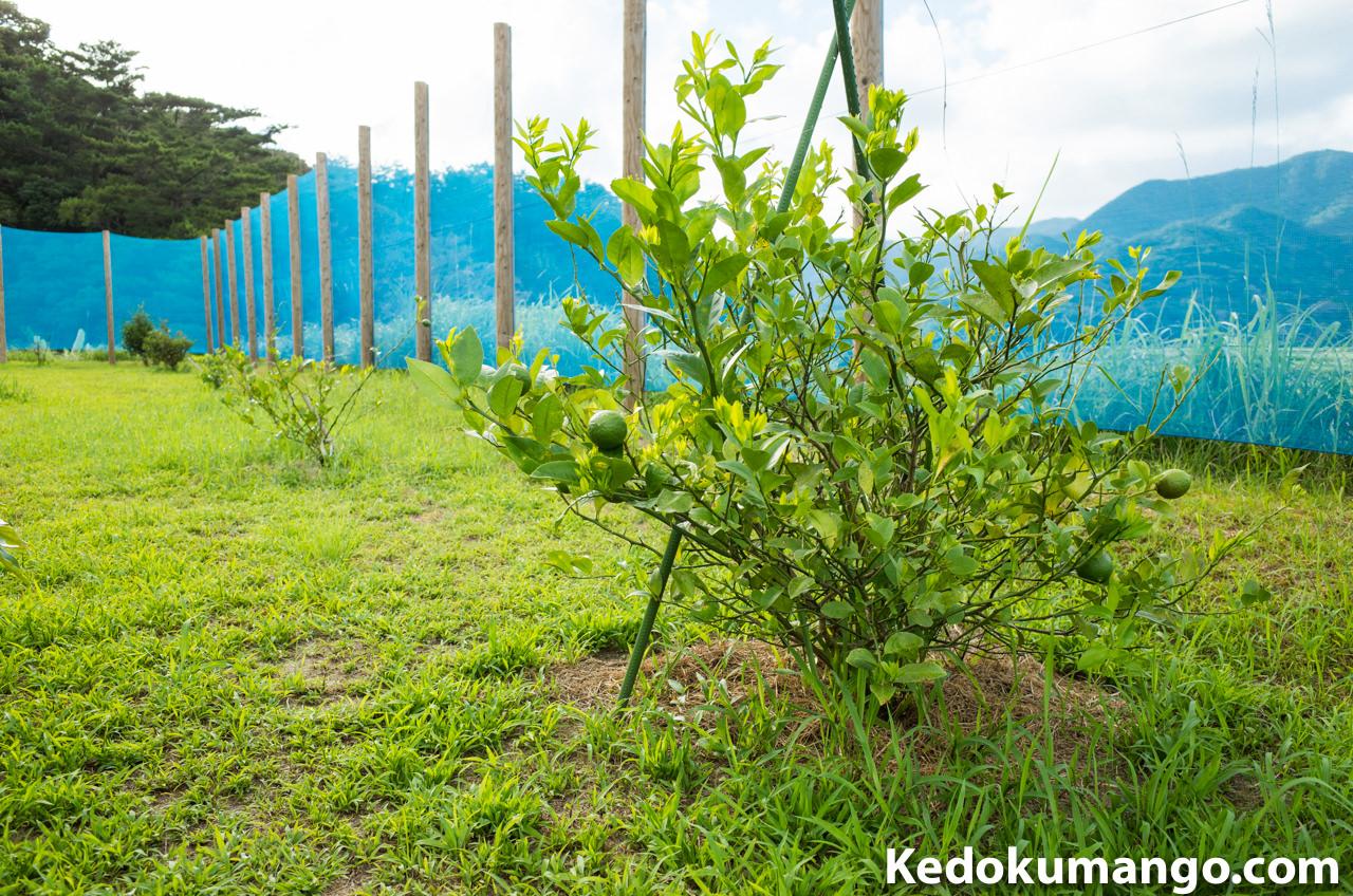 農園のレモンの樹