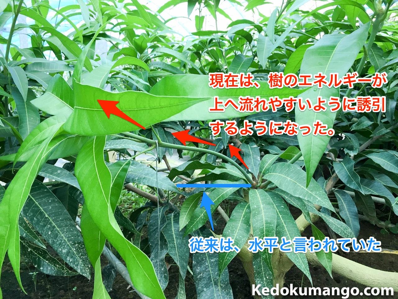 マンゴー幼木の誘引の目安
