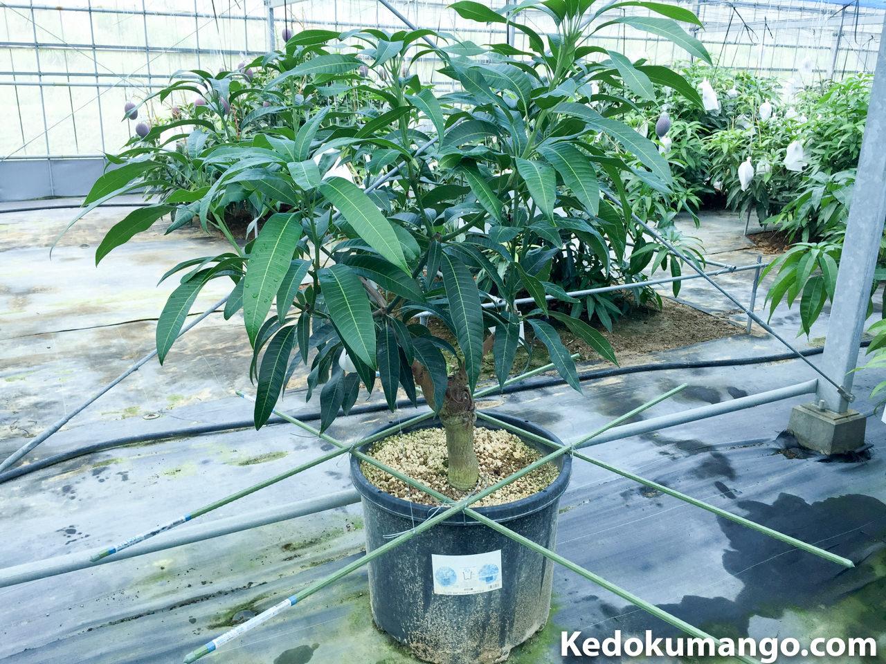 マンゴー幼木の硬い枝を曲げる時のコツ