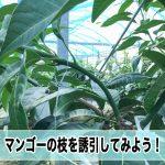 【マンゴー栽培】幼木の誘引作業をやってみよう!