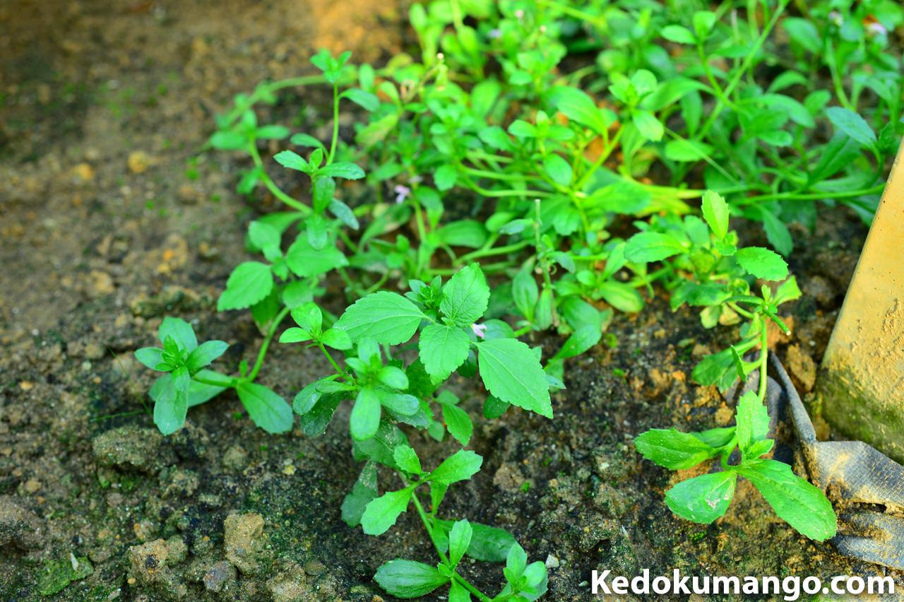 挿し木から1ヶ月が経過した「スカエボラ」