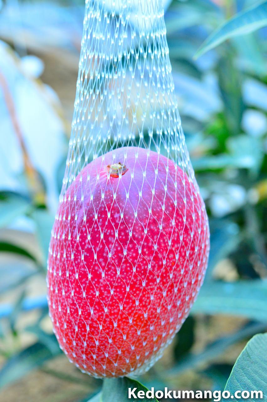 マンゴーの収穫の様子