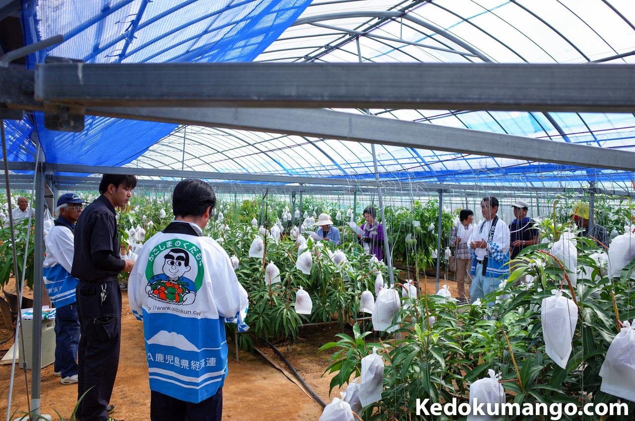 マンゴー収穫祭の様子