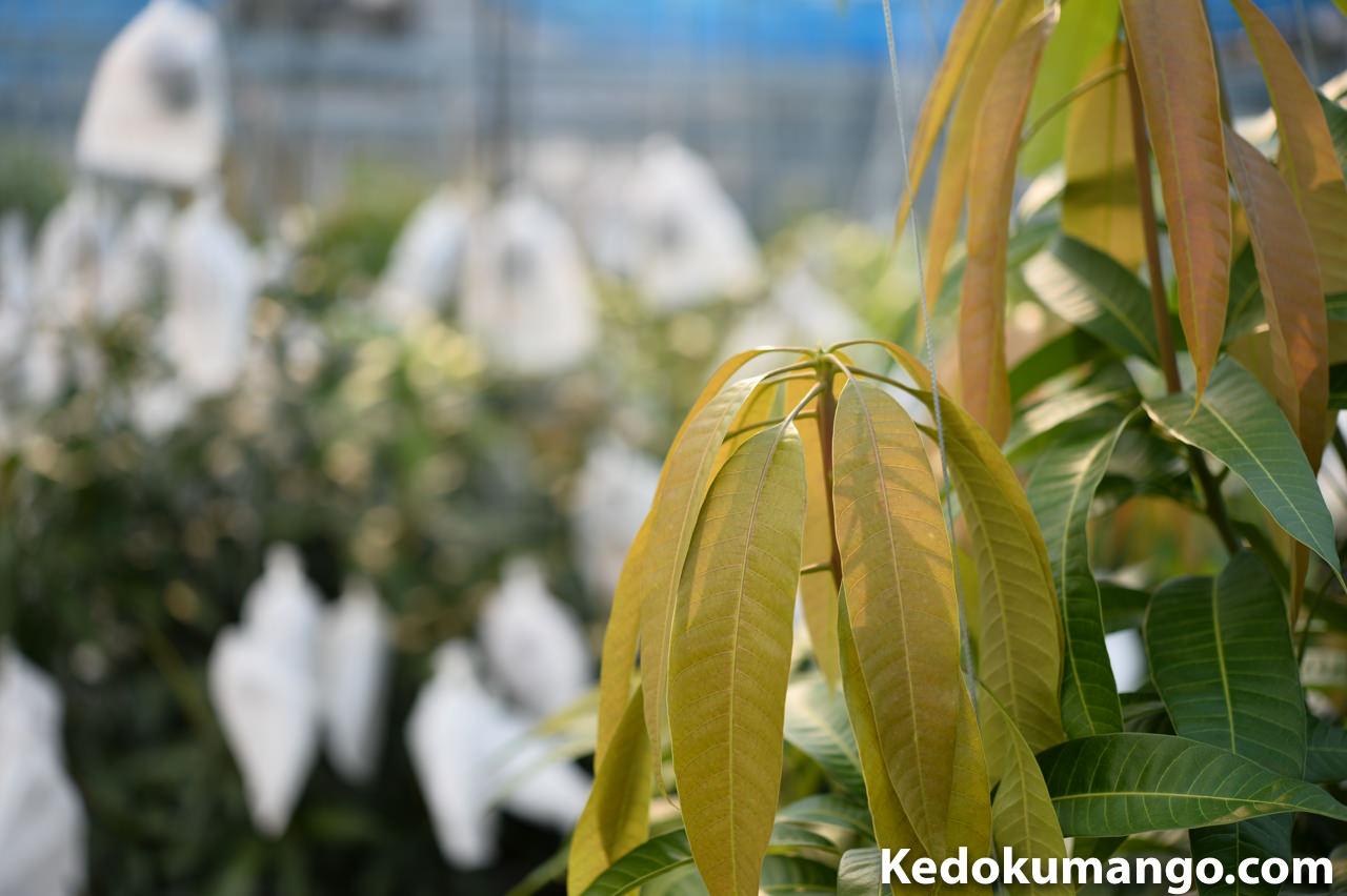マンゴーの新芽が吹出してきている所-1